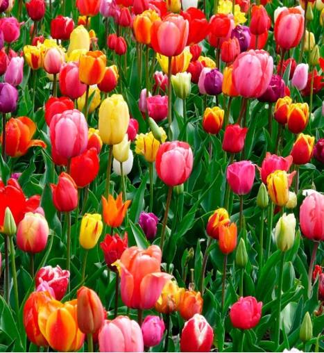 Christmas Palm Adonidia
