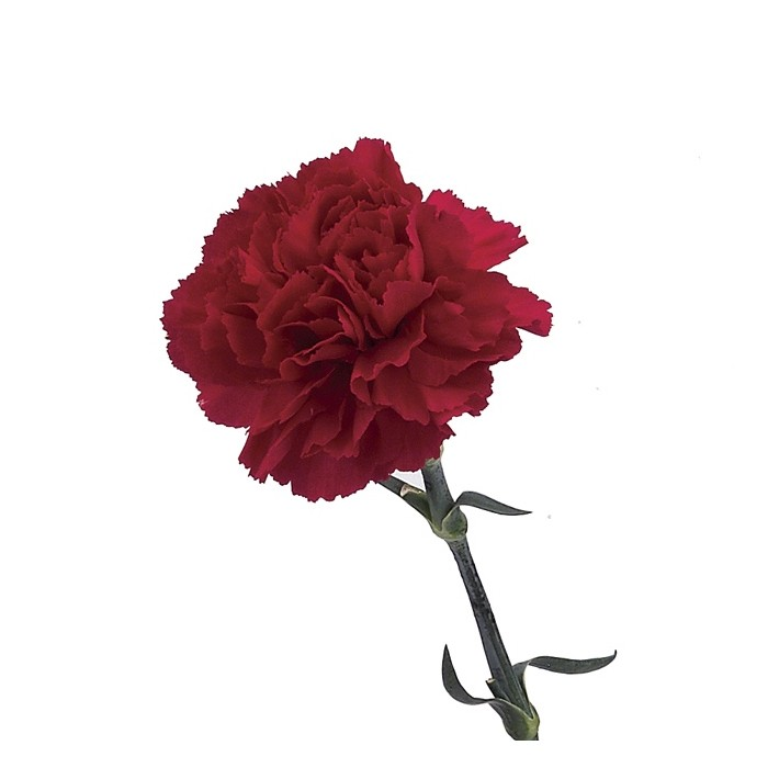 Carnation Red Fancy