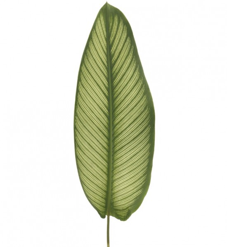 Calathea Leaf - White Star
