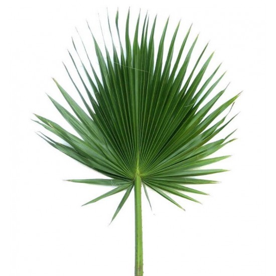 Florida Palm Fan